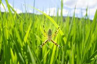 真夏の田んぼの中に網を張るナガコガネグモの成体