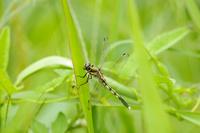 あぜ草にとまるシオカラトンボのメス(ムギワラトンボ)