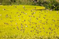 黄金色に実った田んぼから一斉に飛び立つスズメの大群