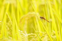 さわやかな秋の陽射しに黄金色に輝く田んぼのナツアカネ(オス)