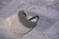 巣から外をうかがうコシアカツバメのペア