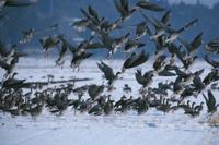 雪原から飛び立つマガンの群れ