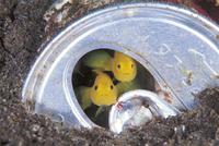 空き缶に隠れるミジンベニハゼのペア
