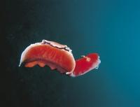 泳ぐミカドウミウシ 32209000254| 写真素材・ストックフォト・画像・イラスト素材|アマナイメージズ