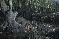 イリオモテヤマネコ マングローブ林で 32211000002| 写真素材・ストックフォト・画像・イラスト素材|アマナイメージズ