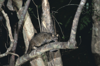 イリオモテヤマネコ 樹の上