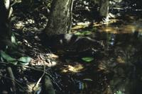 水に入るイリオモテヤマネコ