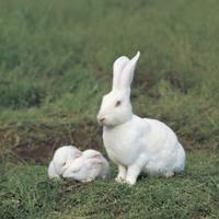 カイウサギ(飼育種)の親子