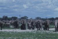 群れと一緒に移動するアフリカゾウの親子