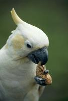 キバタン ラッカセイを食べる