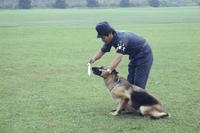 警察犬 シェパード 訓練
