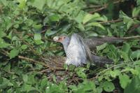 托卵に来てアカモズの卵をくわえ出すカッコウのメス