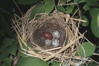 アオジの巣に托卵されたとホトトギスの卵(左上)