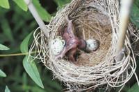 オオヨシキリの卵を巣外へ押し出すカッコウのヒナ