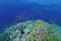 サンゴ礁で群れるキンギョハナダイ