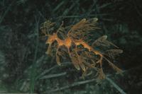 リーフィー・シードラゴン 32215000132| 写真素材・ストックフォト・画像・イラスト素材|アマナイメージズ