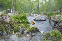 渓流のコマドリのオス