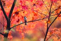 紅葉の中のシジュウカラ