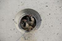 スズメ 道路の水抜き穴で巣作り