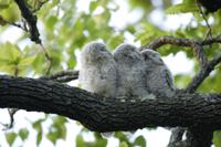 エゾフクロウの巣立ち雛