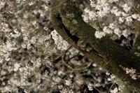 樹洞の巣穴から顔をだすムササビ