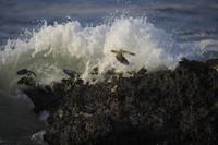 海水を飲みにきたアオバトの群れ