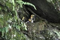 オオルリの巣の中で、翼を広げて餌をねだるジュウイチのヒナ