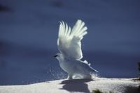 雪原から飛び立つ冬羽のライチョウ
