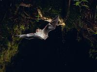 飛ぶコテングコウモリ