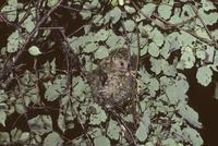 メジロの古巣を補強して自分の巣にしているヤマネ