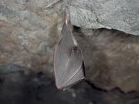 冬眠するキクガシラコウモリ