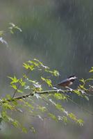 雨の中のヤマガラ