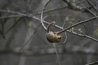 枝を逆さになって移動するヤマネ 32218002649| 写真素材・ストックフォト・画像・イラスト素材|アマナイメージズ
