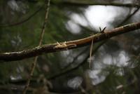 枝を逆さになって移動するヤマネ 32218002650| 写真素材・ストックフォト・画像・イラスト素材|アマナイメージズ