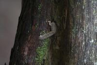 幹に開いた穴の巣に入るヤマネ