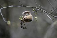 キブシの花を食べるヤマネ 32218002655| 写真素材・ストックフォト・画像・イラスト素材|アマナイメージズ