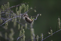 キブシの花を食べるヤマネ 32218002680| 写真素材・ストックフォト・画像・イラスト素材|アマナイメージズ