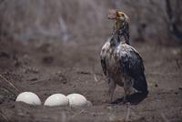 エジプトハゲワシ ダチョウの卵を割ろうとする