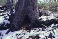 巣穴から出るツキノワグマの子 春 32220000074| 写真素材・ストックフォト・画像・イラスト素材|アマナイメージズ