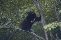木に登るツキノワグマ