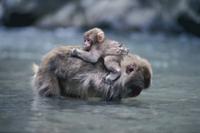 川の中で親の背に乗るニホンザルの子