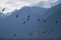 アネハヅルの群飛