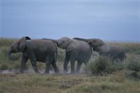 並んで歩くアフリカゾウの子
