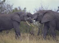 鼻を絡ませる2頭のアフリカゾウ
