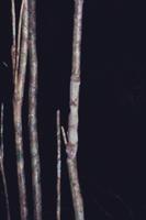 マダガスカルヘラオヤモリの隠遁擬態 32220000337| 写真素材・ストックフォト・画像・イラスト素材|アマナイメージズ