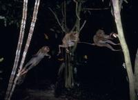 フィリピンメガネザル ジャンプ 32220001290| 写真素材・ストックフォト・画像・イラスト素材|アマナイメージズ