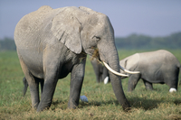 アフリカゾウ 食べる