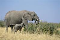 アフリカゾウの親子 授乳