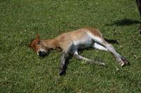 ミサキウマの子 眠る