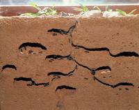 クロオオアリの巣:地中断面